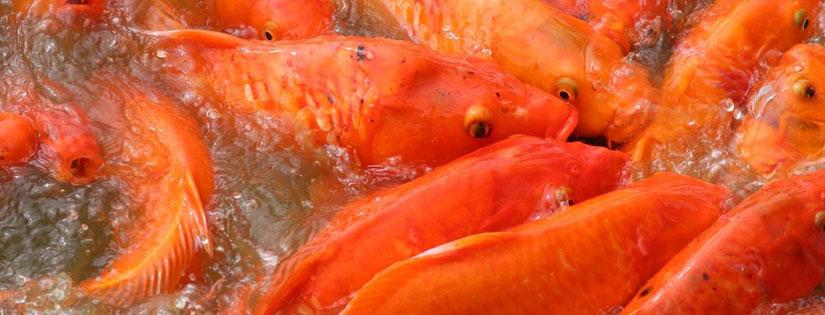 Budidaya Ikan Mas Adalah Bisnis yang Menguntungkan, Ini Buktinya!