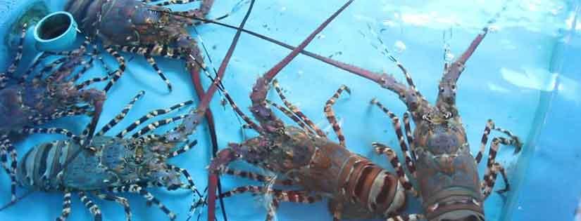 Tips Budidaya Lobster Air Tawar dan Peluang Bisnis yang Ada di Dalamnya