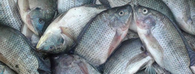 Tips Budidaya Ikan Nila dan Prospek Bisnis Besar di Dalamnya