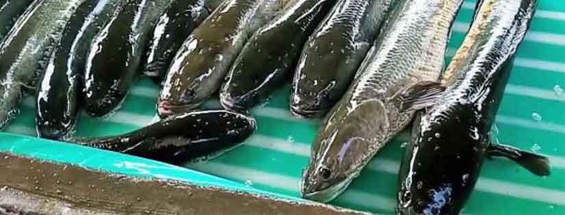 Tips Ternak Ikan Gabus demi Raup Keuntungan Berlimpah